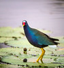Purple Gallinule / male