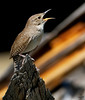 "House Wren, screaming, Colorado<br /> ""Troglodytes aedon"""