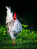 Red Junglefowl / male