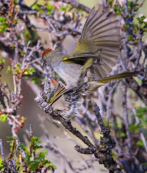 Green-tailed Towhee / Pipilo chlorurus