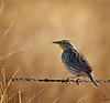 "Western Meadowlark, South Dakota<br /> ""Sturnella neglecta"""