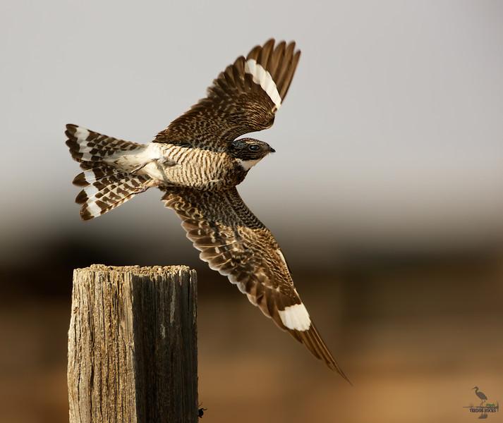 "Common Nighthawk, taking off, Colorado <br /> ""Chordeiles Minor"""