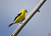 "American Goldfinch / male, Colorado<br /> ""Carduelis tristis"""