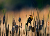 "Yellow-headed Blackbird, at sunrise, Colorado<br /> ""Xanthocephalus xanthocephalus"""