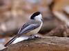 "Stubborn chickadee<br /> Black-capped Chickadee, Colorado<br /> ""Poecile atricapillus"""