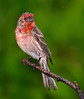 "rain, rain, rain ...<br /> House Finch, Colorado<br /> ""Carpodacus mexicanus"""