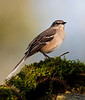 "Northern Mockingbird<br /> ""Mimus polyglottos"""