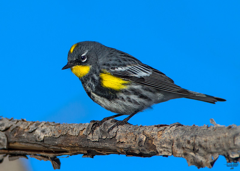 Yellow-rumped Warbler(male) / Dendroica coronata