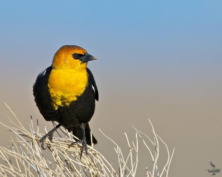 "Yellow-headed Blackbird, Colorado<br /> ""Xanthocephalus xanthocephalus"""