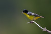 "Lesser Goldfinch, Colorado<br /> ""Carduelis psaltria"""