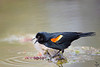 Red-winged Blackbird / Agelaius phoenicus
