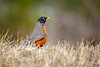 "Waiting For Spring ...<br /> American Robin, Colorado<br /> ""Turdus migratorius"""
