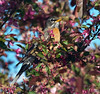 "Stop and smell the flowers when you can!<br /> American Robin, Colorado<br /> ""Turdus migratorius"""
