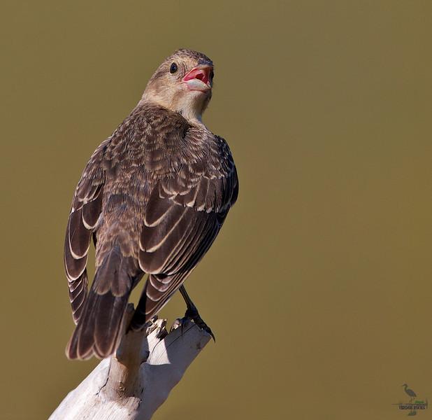 """House sparrow, female, Colorado<br /> """"Passer domesticus"""""""