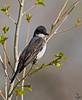 Eastern Kingbird <br /> Tyrannus tyrannus