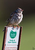 Vesper Sparrow / Pooecetes gramineus