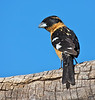 "Black-headed Grosbeak, New Mexico<br /> ""Pheuticus melanocephalus"""