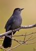 "Gray Catbird, Colorado<br /> ""Dumetella carolinensis"""