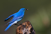 "Mountain Bluebird, landing with his catch, Colorado<br /> ""Sialia currucoides"""