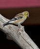 "American Goldfinch, January; Colorado<br /> ""Carduelis tristis"""