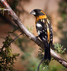 "Black-headed Grosbeak / male, New Mexico<br /> ""Pheucticus melanocephalus"""