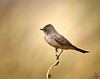 "Say's Phoebe, Colorado<br /> ""Sayornis saya"""