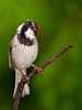 "Dear God, can you tell me please how long I have to put it up with that rain ........?!<br /> House Sparrow, Colorado'<br /> ""Passer domesticus"""