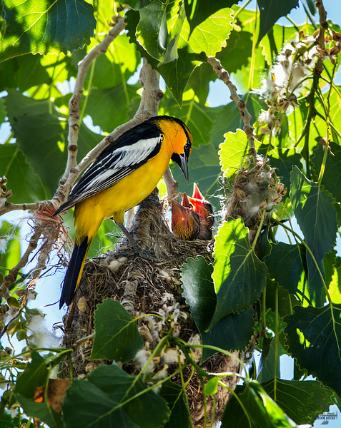 Bullock's Oriole male at the nest
