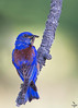 Western Bluebird/ Scalia Mexicana
