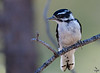 "Downy Woodpecker, juvenile, Colorado<br /> ""Picoides pubescens"""