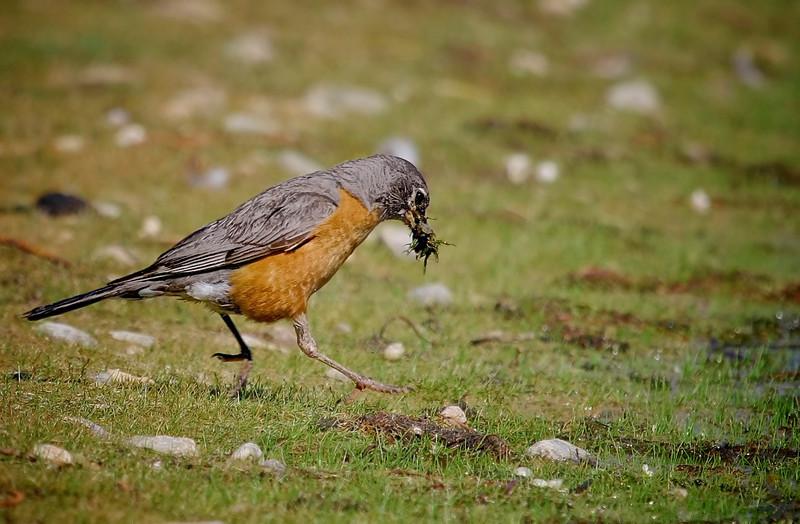 """Air Runner Over  Dew Drops.....<br /> American Robin, Colorado<br /> """"Turdus migratorius"""""""