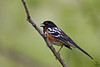 "Spotted Towhee, male, Colorado<br /> ""Pipilo maculatus"""