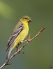 Lesser Goldfinch / female<br /> Carduelis psaltria