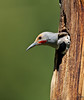 "Northern Flicker,at nest, Colorado<br /> ""Colaptes auratus cafer"""