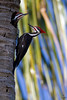 "Pileated Woodpecker, couple in palm tree nest site, Florida<br /> ""Dryocopus pileatus"""