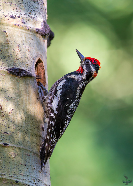 Red-Naped Sapsucker / Sphyrapicus nuchalis