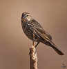 "Red-winged Blackbird / female, Colorado<br /> ""Agelaius phoeniceus"""