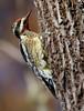 "Yellow-bellied Sapsucker, Florida<br /> ""Sphyrapicus varius"""