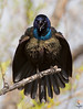 Screaming ...<br /> Common Grackle / Quiscalus quiscula