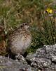 "White-tailed Ptarmigan, juvenile, Colorado<br /> ""Lagopus leucurus"""