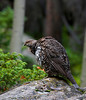 "Dusky Grouse, female, Rocky Mountain National Park, CO<br /> ""Dendragapus obscurus"""