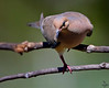 "... always right foot first !!!<br /> Mourning Dove, Colorado<br /> ""Zenaida macroura"""
