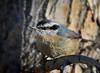 "Red-breasted Nuthatch, New Mexico<br /> ""Sitta canadensis"""