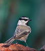 "Mountain Chickadee, Colorado<br /> ""Poecile gambeli"""