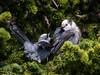 Gray Jay / Perisoreus canadensis