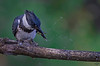 "Little Snack<br /> Belted Kingfisher, Colorado<br /> ""Ceryle alcyon"""
