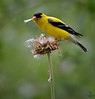 "American Goldfinch, Colorado<br /> ""Carduelis tristis"""