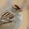 "White-crowned Sparrow, immature, Colorado<br /> ""Zonotrichia leucophrys"""