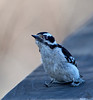 Ouch my butt.....<br /> Downy woodpecker / baby<br /> picoides pubescens
