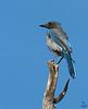 "Western Scrub Jay, juvenile, Colorado<br /> ""Aphelocoma californica"""